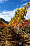 The vine with the colors of autumn Stock Photo
