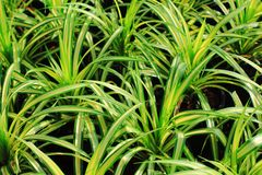 Screw pine or  Pandanus sanderi Royalty Free Stock Image