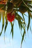 Screw Pine. In sea thailand Stock Image