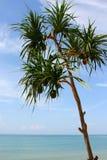 Screw Pine. In sea thailand Stock Photography