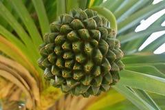 Screw Pine Tree Fruit Stock Images