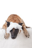 Screwed bandage on the dogs head. Picture of a screwed bandage on a dogs head Stock Image