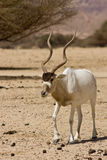 Screwhorn antelope. Addax nasomaculatus antelope on desert, Israel Royalty Free Stock Images