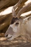 Screwhorn antelope portrait. Portrait of wild addax nasomaculatus antelope on desert Royalty Free Stock Images