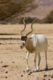 screwhorn d'antilope images libres de droits