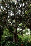 Screwpine commun (utilis de Pandanus) Photographie stock libre de droits