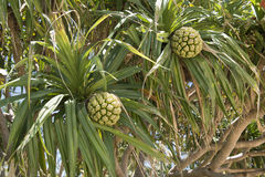 Screwpine Fruits - Pandanus Stock Photo