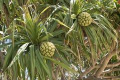 Screwpine frukter - Pandanus Arkivfoto