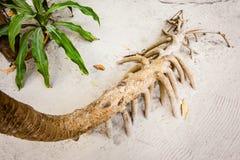 Screwpine korzenie zdjęcia stock