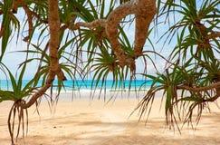 Screwpine na Kat plaży na Phuket wyspie w Tajlandia fotografia stock