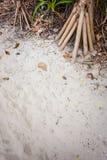 Screwpine rotar i sanden Royaltyfri Foto