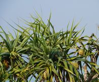 Screwpine trees are native to Malaysia Royalty Free Stock Image