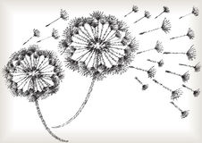 Scribble black and white dandelions Stock Images