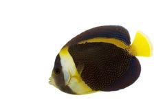 Scribbled Angelfish. (Chaetodontoplus duboulayi) isolated on white background Stock Photos
