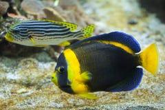 Scribbled angelfish Chaetodontoplus duboulayi. Royalty Free Stock Photo
