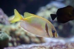 Scribbled doliatus Siganus rabbitfish стоковые фотографии rf
