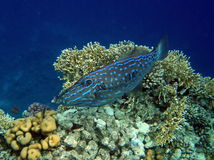 Scribbled Filefish on Coral Reef Royalty Free Stock Photography