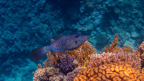 Scribbled Filefish. In the Coral Reef, Red Sea royalty free stock photo