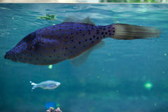 Scribbled leatherjacket filefish (Aluterus scriptus). Stock Images