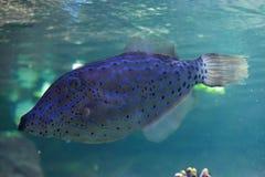 Scribbled leatherjacket filefish (Aluterus scriptus). Stock Image