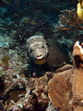 Scribbled Puffer Fish (Arthron mappa) - front face Stock Photos