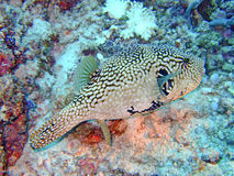 Scribbled pufferfish, Maldives Royalty Free Stock Photo