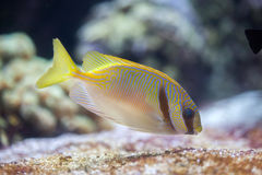 Scribbled rabbitfish Siganus doliatus Stock Images