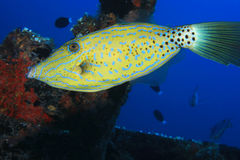 Scribblet leatherjacket filefish Stock Image