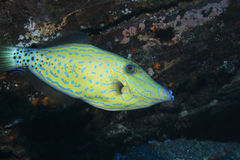 Scribblet leatherjacket filefish Royalty Free Stock Image