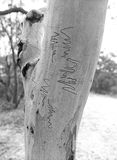 Scribbly gum Royalty Free Stock Photo