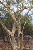 Scribbly Gums. In the Australian Bush after a fire Royalty Free Stock Image