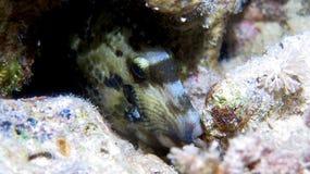 Scribled Filefish Arkivfoton