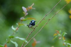Scricciolo blu maschio Fotografie Stock Libere da Diritti