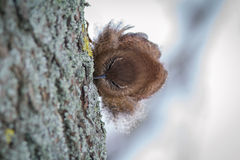 Scricciolo sul tronco di albero fotografia stock