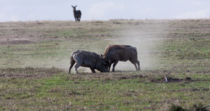 Scrimmage in the savanna. Warthogs. SweetWaters Royalty Free Stock Photography