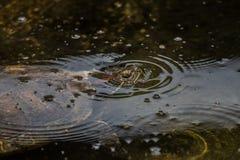 Scripta Trachemys elegans στη λίμνη στοκ φωτογραφίες με δικαίωμα ελεύθερης χρήσης