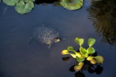 Scripta van de schildpadtrachemys van Florida zwemt in een vijver stock afbeeldingen