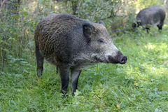 Scrofa Photographie stock