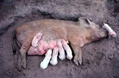 Scrofa che alimenta 6 porcellini bianchi Fotografia Stock