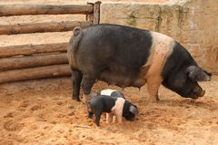 Scrofa con i porcellini Fotografie Stock Libere da Diritti