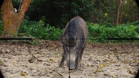 Scrofa del Sus del jabalí visto en alcance del rifle del arma Caza de la fauna El escalfar en peligro, vulnerable, y amenazante almacen de metraje de vídeo