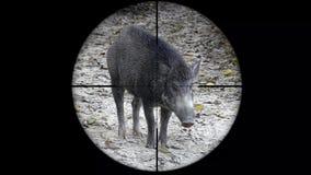 Scrofa del Sus del jabalí visto en alcance del rifle del arma Caza de la fauna El escalfar en peligro, vulnerable, y amenazante metrajes