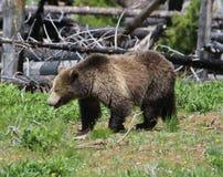 Scrofa dell'orso grigio nel parco nazionale di Yellowstone Fotografia Stock
