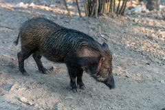 Scrofa do Sus do javali, igualmente conhecido como o porco selvagem fotografia de stock royalty free