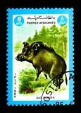 Scrofa do Sus do javali, serie dos animais, cerca de 1984 Fotos de Stock Royalty Free