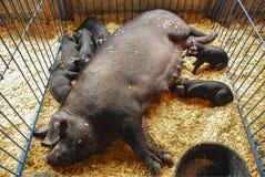 Scrofa e porcellini della concorrenza del bestiame fotografia stock libera da diritti