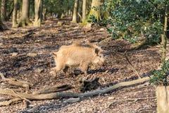 Scrofa för vildsvinsusscrofa i trät Arkivbild