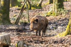Scrofa för vildsvinsusscrofa i trät Royaltyfria Bilder