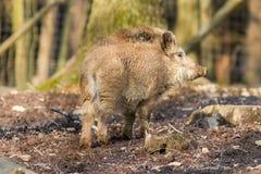 Scrofa för vildsvinsusscrofa i trät Fotografering för Bildbyråer