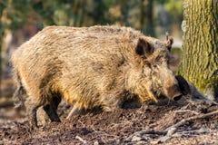 Scrofa för vildsvinsusscrofa i trät som söker för mat Royaltyfri Bild